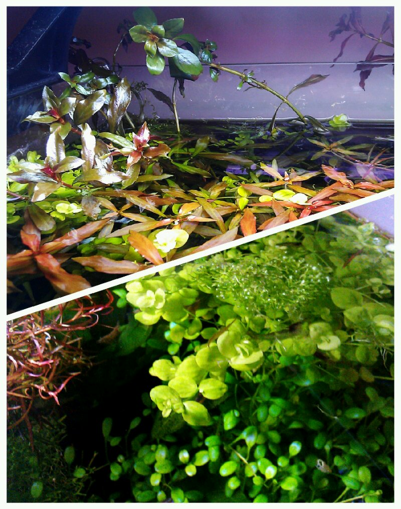 尝试培养红宫廷水上叶,叶型变圆了。 :)