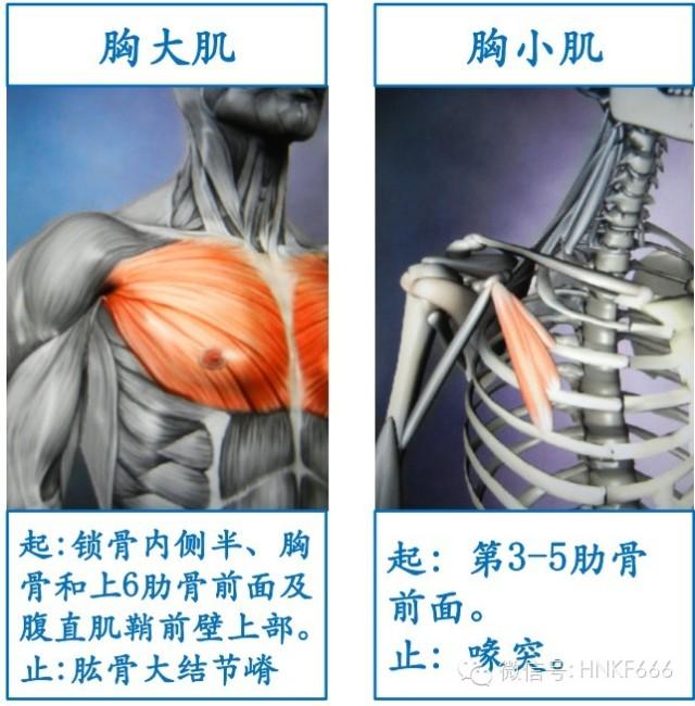 精美3D骨骼肌解剖图谱